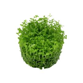 "Micranthemum ""monte carlo"" Ecoscape"