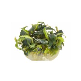 """Bucephalandra """"Wavy green"""" - In Vitro Cup"""