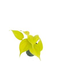 Philodendron Neon