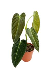 Philodendron Melanochrysum (2)