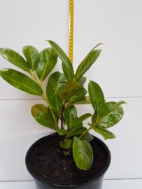 Prunus laurocerasus 'Novita'