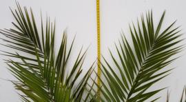 Phoenix Canariensis 'Canarische dadelpalm'