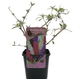 Vlinderstruik Tricolor