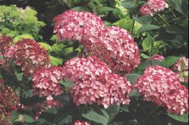 Hydrangea Ruby Annabelle