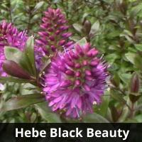 Hebe Black Beauty