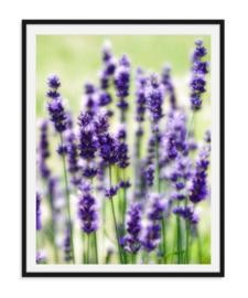 Lavendel bloem - Poster