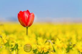 Tulpen en Narcissen, ringen in de hoeken.