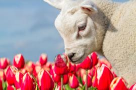 Lammetje en Tulpen, Fleece Deken.