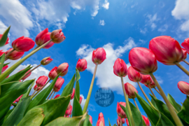 Tulpen, Fleece Deken.