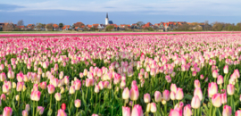 Tulpen op Texel, ringen in de hoeken.