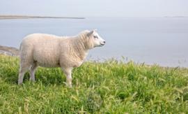 Lammetje op Waddendijk, ringen in de hoeken.