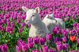 Lammetjes en Tulpen, ringen in de hoeken.