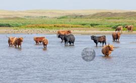 Schotse Hooglanders in water, ringen in de hoeken.