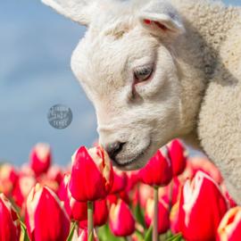 4-Kantje: Lammetje en Tulpen op Texel, materiaal canvas.