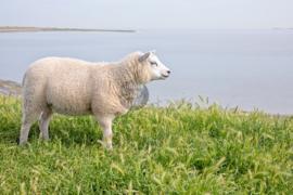 Lammetje op Waddendijk, Fleece Deken.