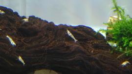 Mosura crown (sss)