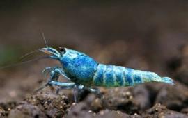 Blue Bolt Garnalen