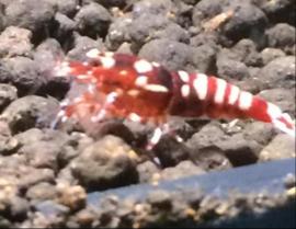 Red Galaxy zebra mid / high grade