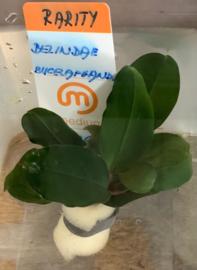 Bucephalandra Belindae