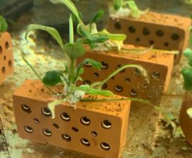 Bucephalandra Wavy Green op Baksteentje