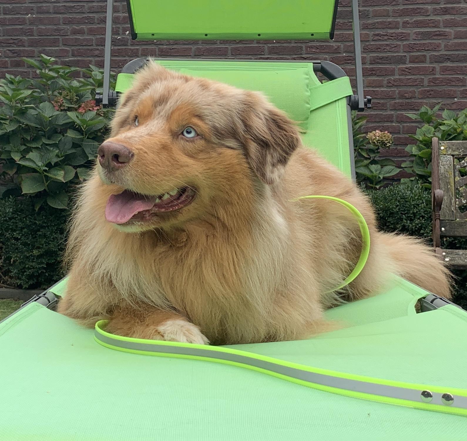 Hond met gele lijn