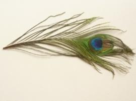 0-TH12238/3831- extra mooie pauwenoogveer van 28 - 34 cm lang