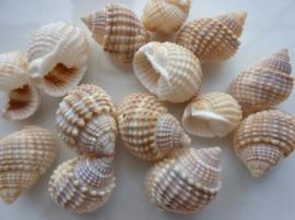 2620- 14 stuks natuurschelpen kralen van 13-18mm beige