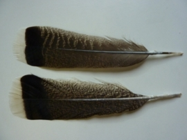 AM.217- 2 stuks wilde kalkoen veren van 25-32 cm.  - zeer zeldzaam!