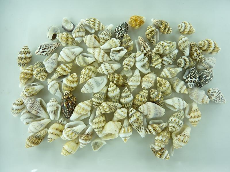 2608- ca. 30 gram decoratie schelpjes van 10-18mm lang zonder gaatjes