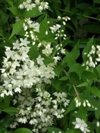 Deutzia gracilis c2
