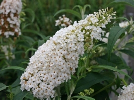 Buddleja dav. White profusion