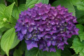 Hydrangea macr. Hovaria Hobergine ®
