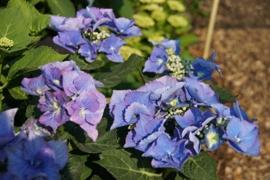Hydrangea macr. Blaumeise (H60)
