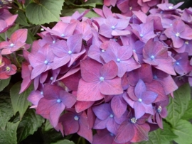 hydrangea macr. Deep Purple (music collection) (H161)