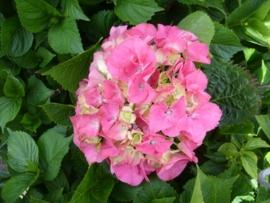 Hydrangea macr. Masja (H44)