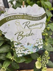 Nieuw!! Hydrangea Runaway Bride  (6 liter pot)