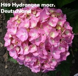 Hydrangea macr. Deutschland (H89)