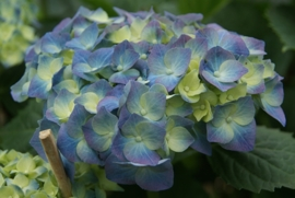 Hydrangea macr. Bela (H101)