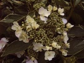 Hydrangea macr. Tricolor (H17)