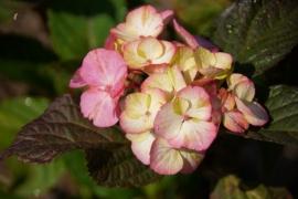 Hydrangea serr. Preziosa (H24)