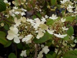 Viburnum plicatum Watanabe  C3