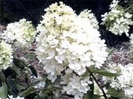 Hydrangea pan. Grandiflora (H33)