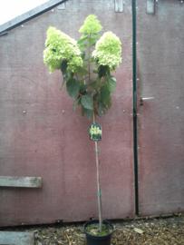 Hydrangea pan. Limelight ® (H29) op stam van ong 120 cm. of hoger