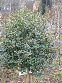 Ligustrum delavayanum op stam 80 cm.