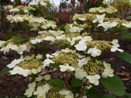 Viburnum plicatum Tennesee  40-50 cm.