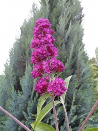Buddleja dav. Royal red