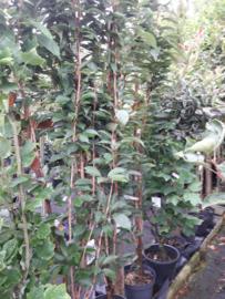 Prunus serr. Amanogawa  175-200 cm.