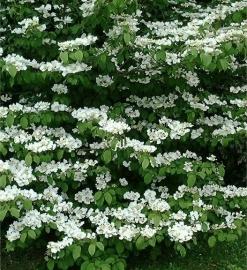 Viburnum plicatum Mariesii c10