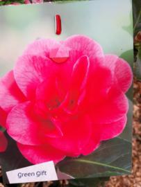 Camellia ret. Mary Williams   C5