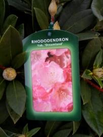 Rhododendron yak. Dreamland C4